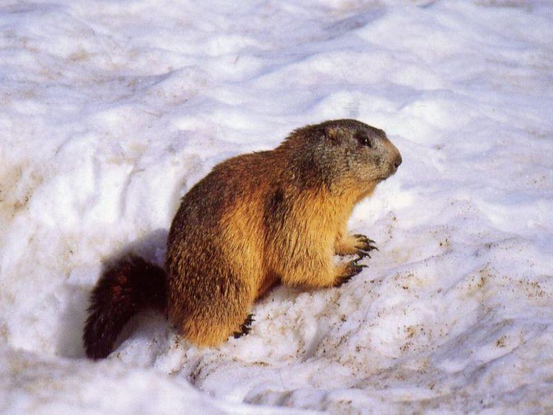marmotte en hiver