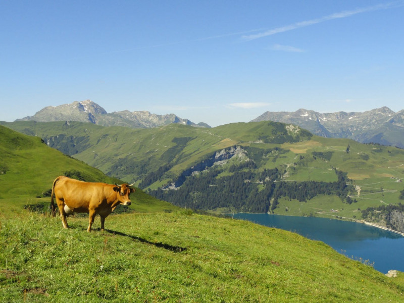 Arêches-Beaufort : vache tarine à l'alpage